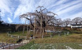 fukushima-tree