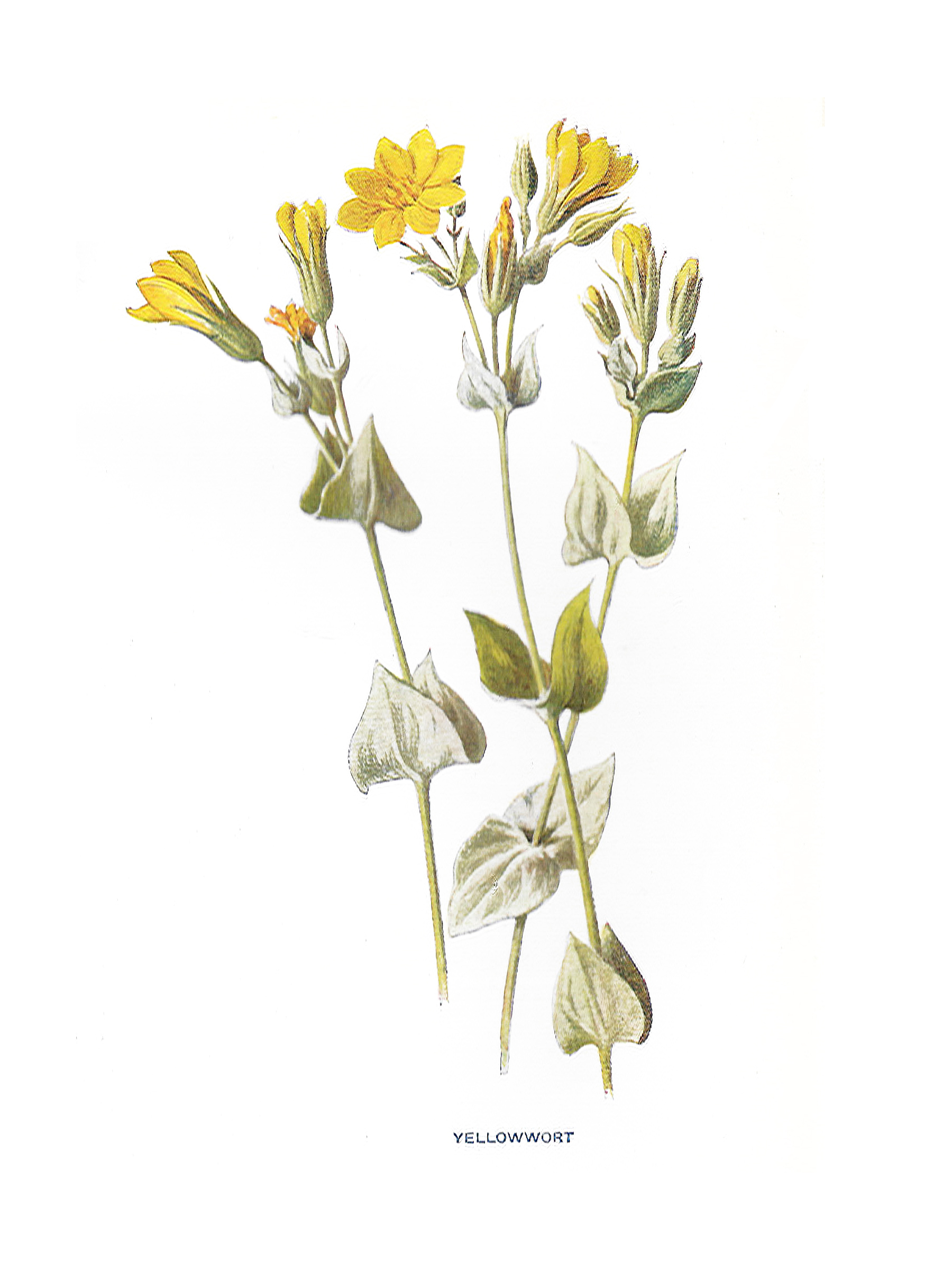 Vintage yellow floral print from Larousse book.