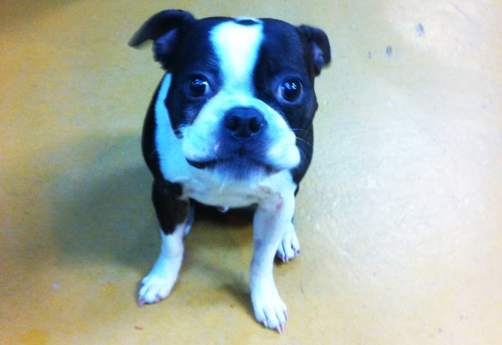 Sammy the Boston Terrier at Hometown Bicycles
