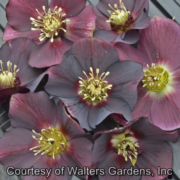 Helleborus Rome in Red