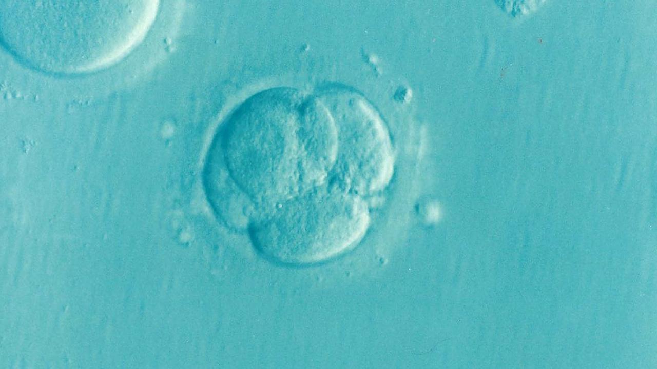 Bientôt des embryons hybrides homme-animal ?