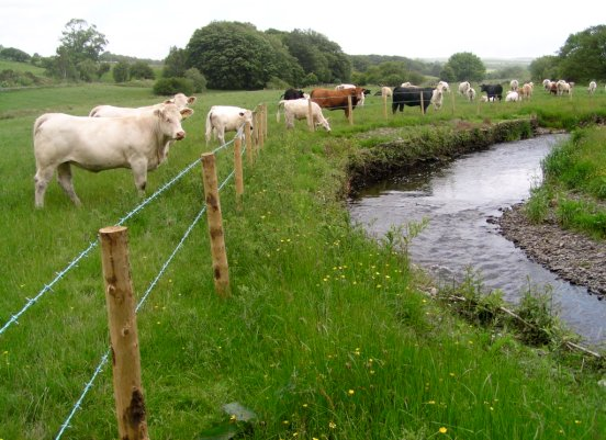Cattle fenced off from watercourse