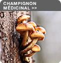 Champignon Médicinal