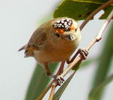 Red-browed Pardalote Sound