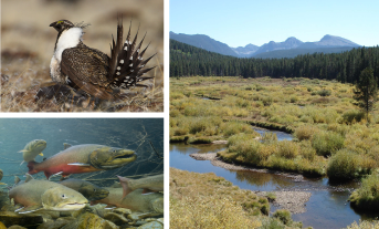Image of sage grouse, bull trout, and montane wetlands