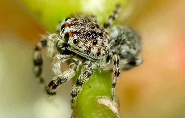 Photograph of a Abracadabrella spider.