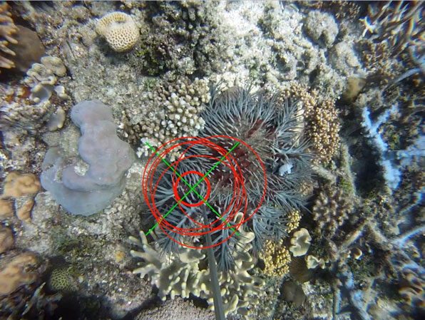 Crown of thorns starfish on reef with target and needle.