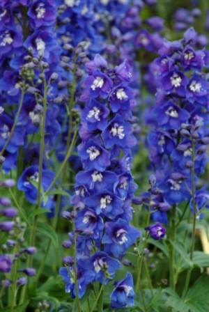 Dasante Blue
