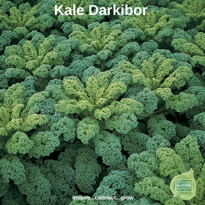 Kale Darkibor