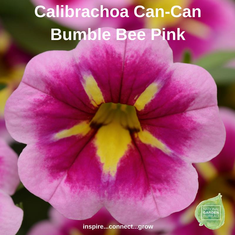 Calibrachoa Can-Can Bumble Bee Pink