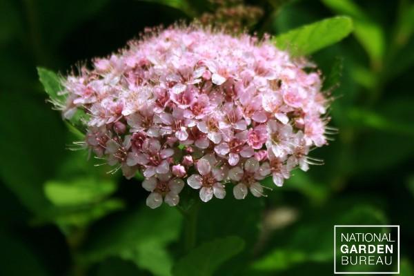 Spiraea First Editions® Pink Sparkler™ Birchleaf Spirea