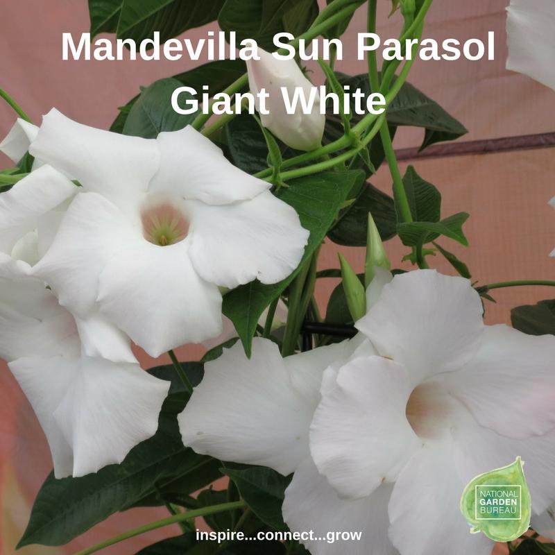 Mandevilla Sun Parasol Giant White