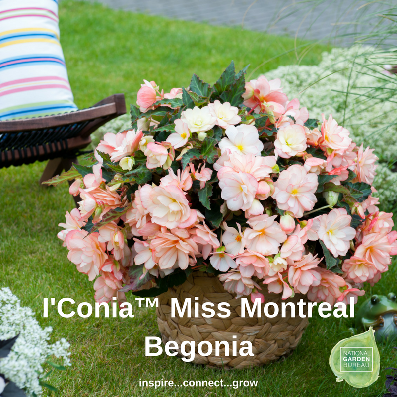 I'Conia™ Miss Montreal Begonia