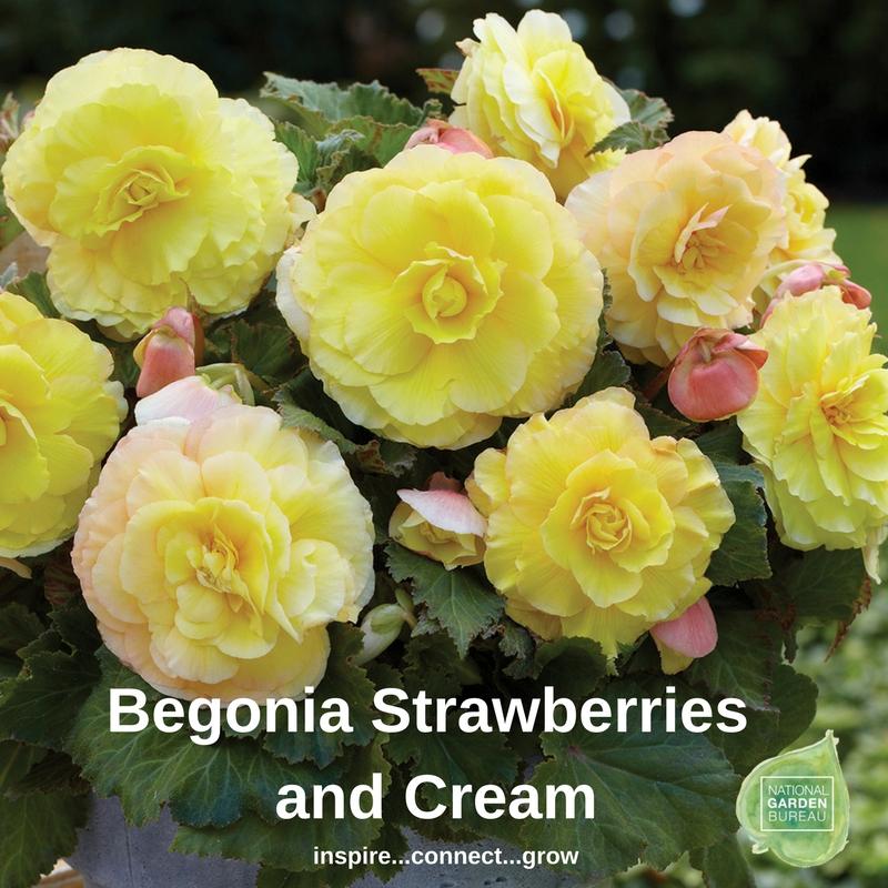 Begonia Strawberries and Cream