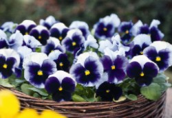 Pansy Inspire Plus Beaconsfield