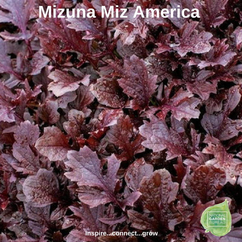 Mizuna Miz America