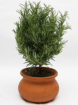Cook's Garden Rosemary in Clay Pot