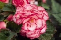 Begonia NonStop Petticoat Rose