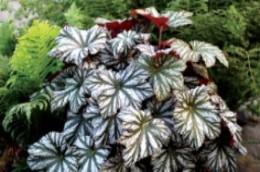 Begonia Cool Breeze Glacier