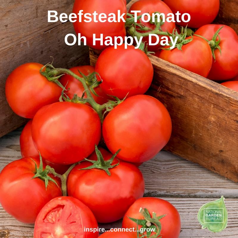 Beefsteak Tomato Oh Happy Day
