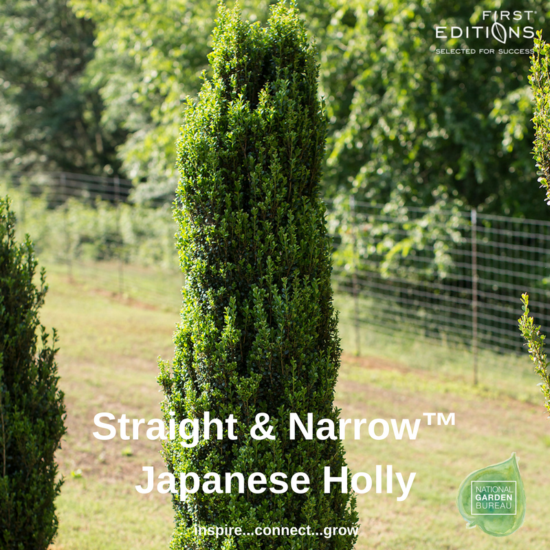 Straight and Narrow Japanese Holly