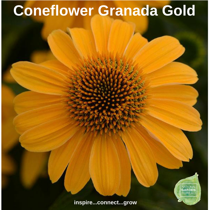 Coneflower Granada Gold