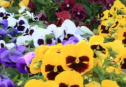 Pansy Majestic Giants II Mix
