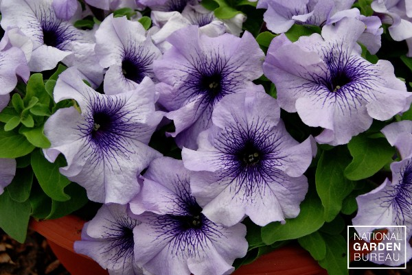 Petunia Limbo *GP* Blue Veined™ F1