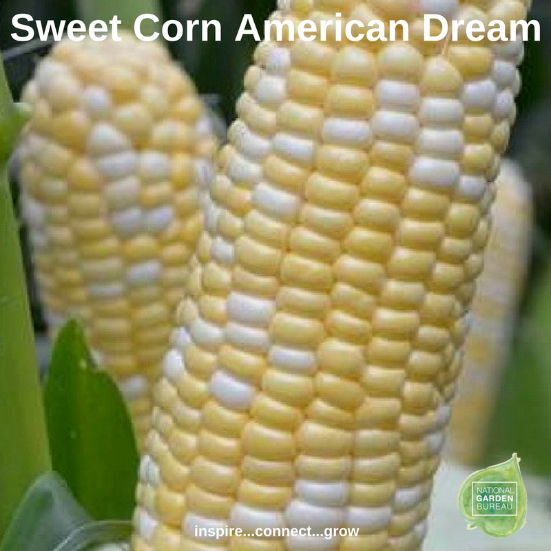 Sweet Corn Amercian Dream