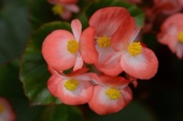 Begonia Baby Wing Bicolor