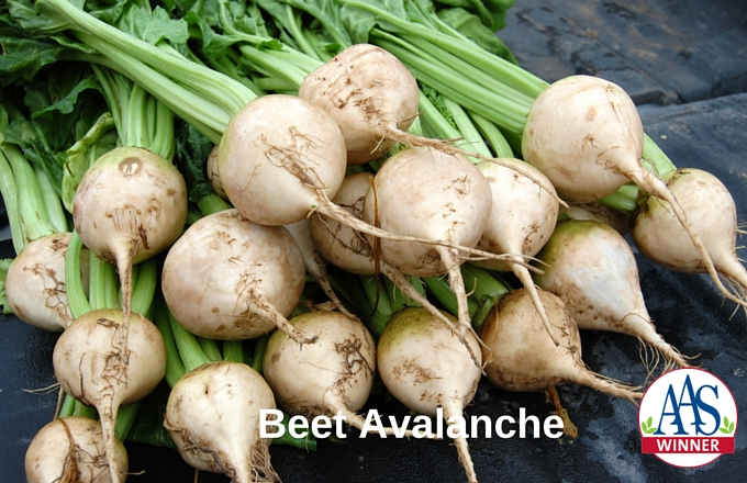 White Avalanche Beet