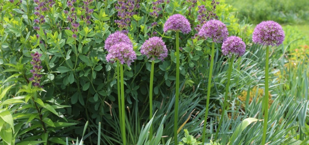 Longfield Garden Allium