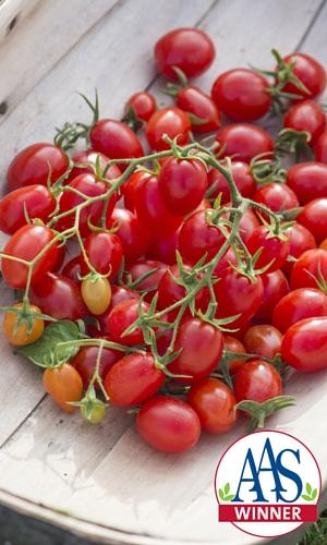 Fantastico Tomato