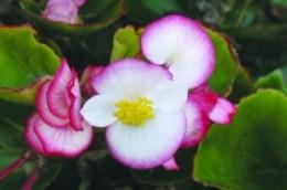 Begonia Senator Bicolor