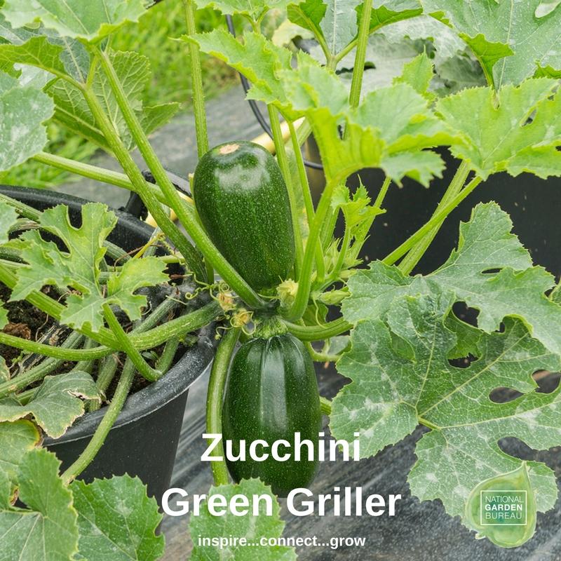 Zucchini Green Griller