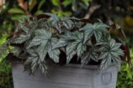 Begonia Gryphon