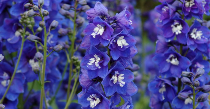 Year of the Delphinium
