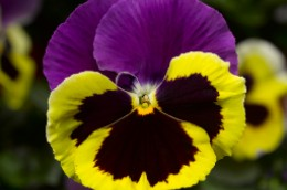 Pansy Colossus Tricolor Imperial