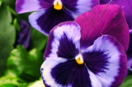 Pansy Majestic Giants II Blue Jean