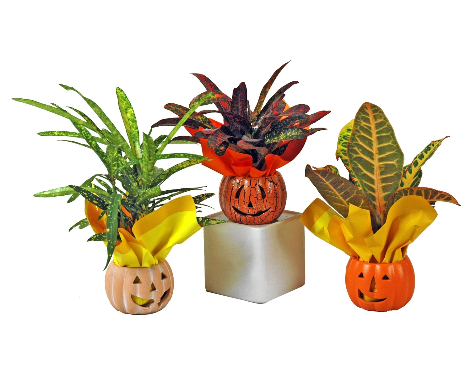 ceramic  pumpkins with assorted crotons