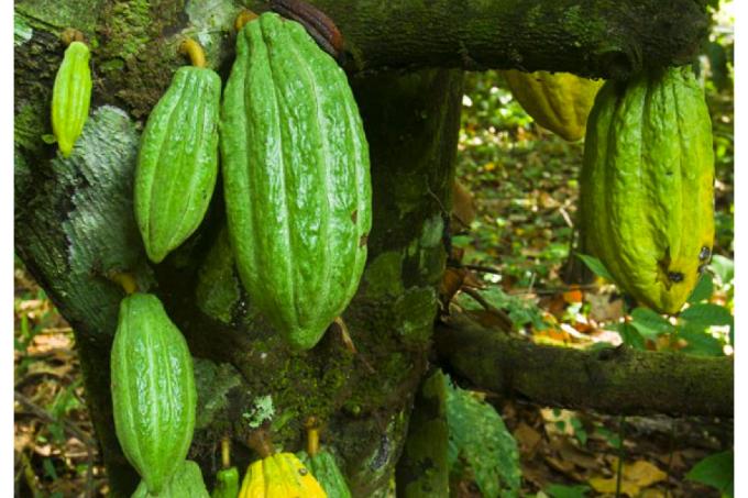 Cacao Silvestre