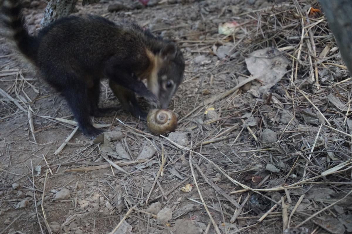 Coati enrichment