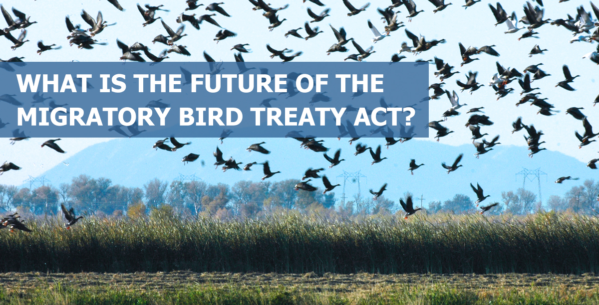 What is the Future of the  Migratory Bird Treaty Act?