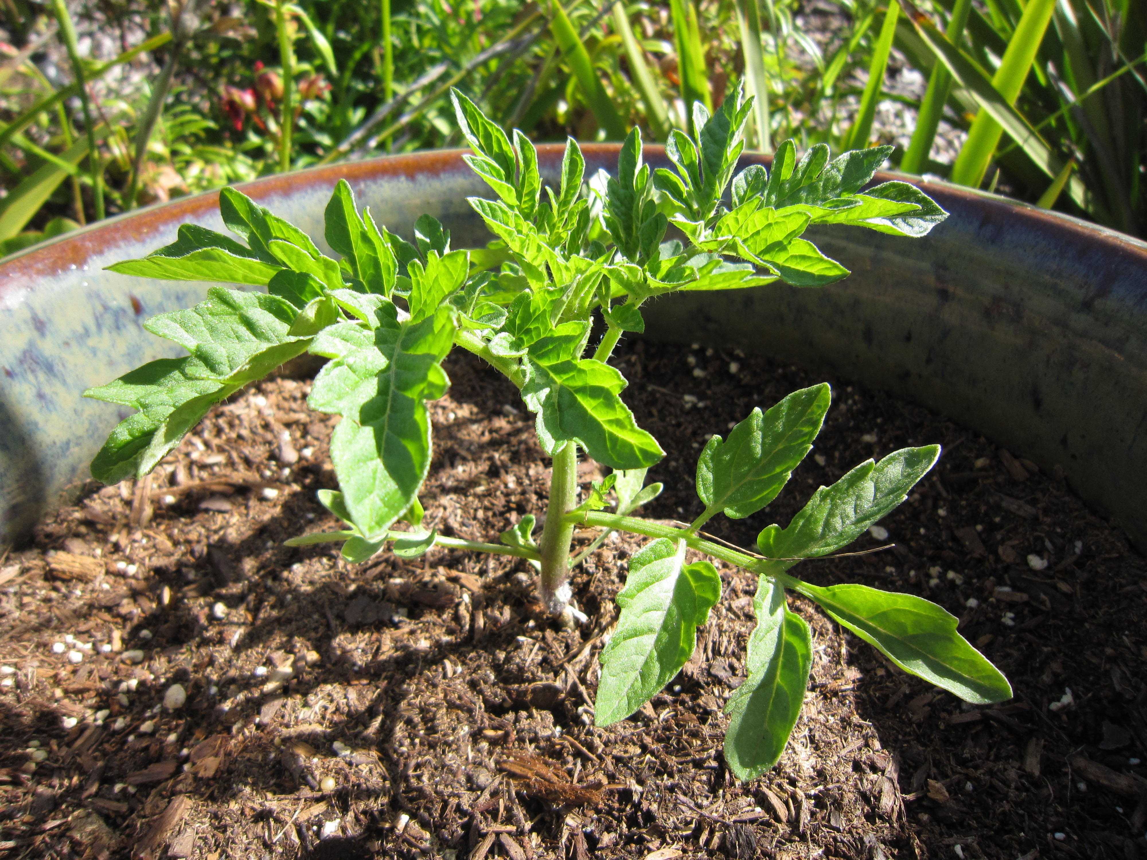 Tomato Seedling Super Healthy Stout Strong