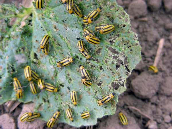 Insect Western Striped Cucumber Beetle Damage