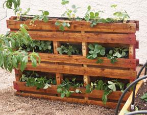 Pocket Pallet Garden stained strawberries vertical