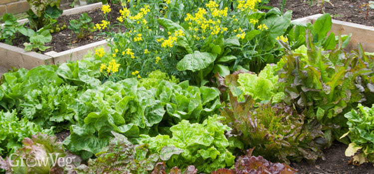 Lettuces Tasty Varieties with Edible Flowers