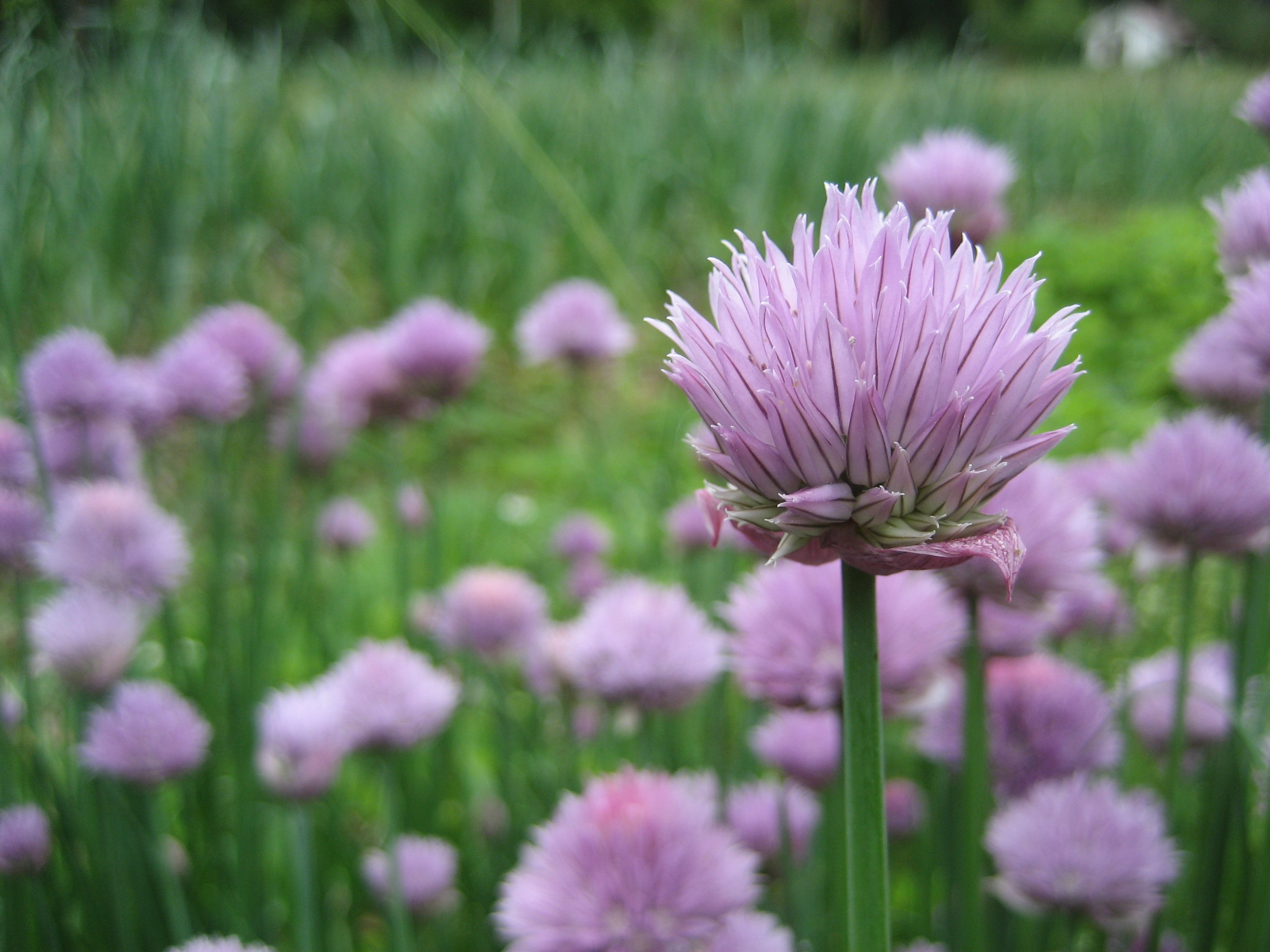 Chives Allium tuberosum Hudson Valley Seed Library