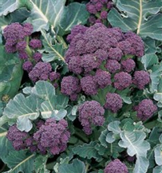 Broccoli Early Purple Sprouting English Heirloom