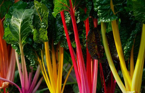 Colorful Chard, Bright Lights! Perfect Winter garden color and super nutrition!